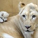 عائلة جديدة من الأسود البيضاء في حديقة حيوان وسط بولندا