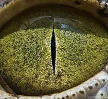 عيون الحيوانات البرية