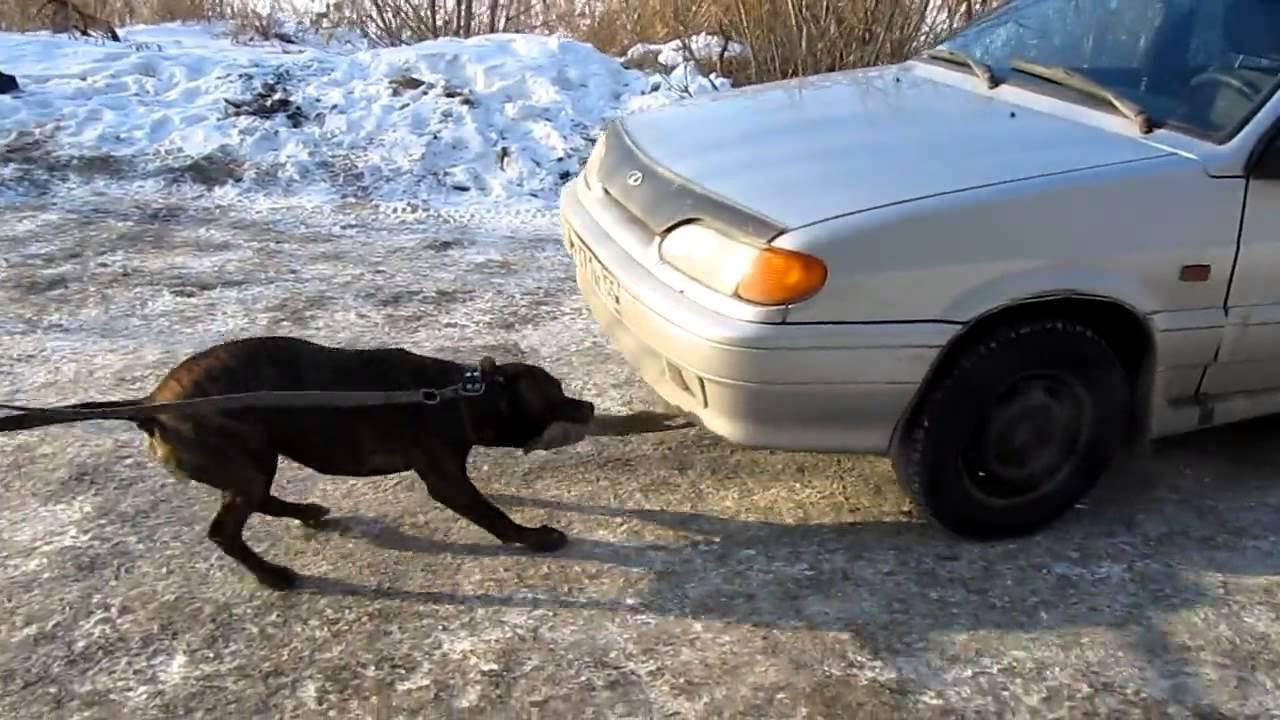 كلب قوي يسحب سيارة بفكه