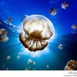 قناديل البحر