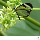 الفراشة ذات الأجنحة الزجاجية