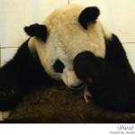 أنثى الباندا