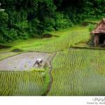 حقول الأرز
