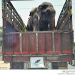 مساعدة فيل تعرض للظلم