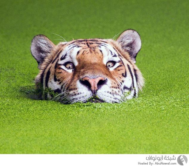 نمر يسبح في حوض من الطحالب البحرية