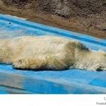 الدب الحزين
