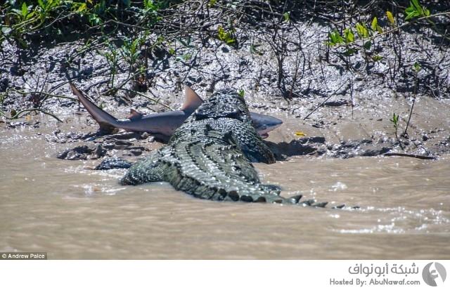 أضخم تمساح بالعالم