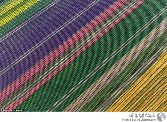 حقول زهرة التوليب الملونة