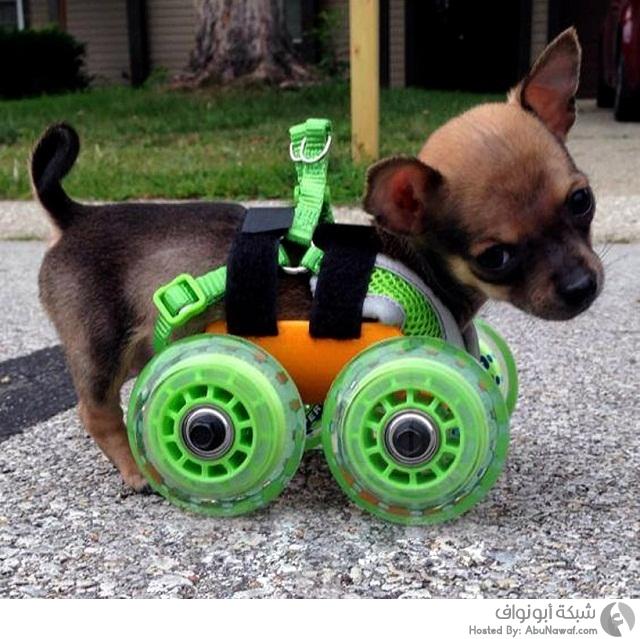 عجلات صغيرة لكلب معاق