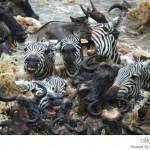 معركة حامية بين الحيوانات البرية