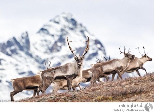 الحياة البرية في ألاسكا