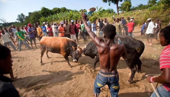 قتال الثيران مصدر رزق في مناطق هايتي الريفية