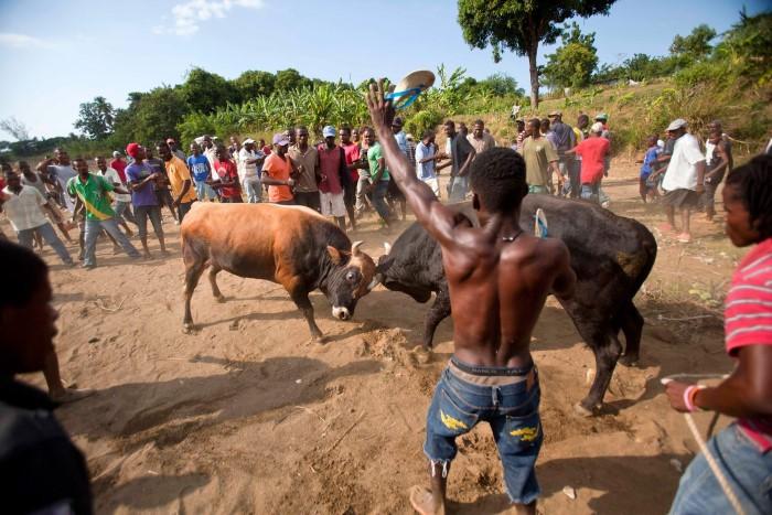 ثيران ثور هايتي قتال