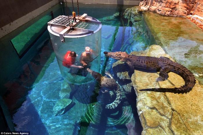 السباحة مع التماسيح القاتلة في منتزه Crocosaurus