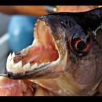 كيف تأكل أسماك البيرانا اللحوم