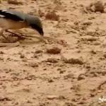 معركة بقاء بين طائر وثعبان