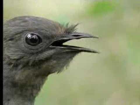 طير يقلد الاصوات اللي يسمعها