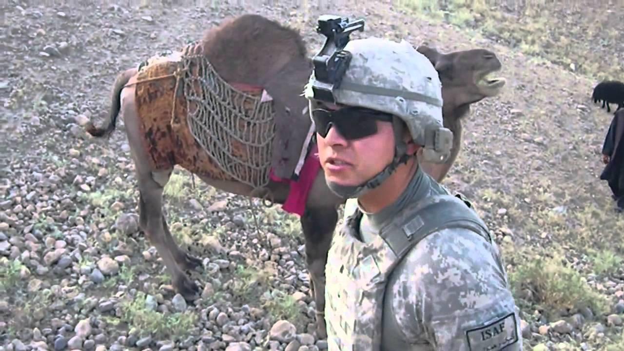 النياق وحقدها على الجنود الأمريكان