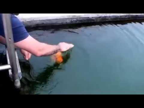 سمكة تلعب مع رجال كأنها حيوان أليف (فيديو)