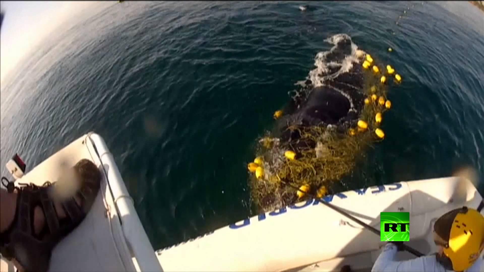 محاوله إنقاذ حوت اعمى في شواطئ أستراليا (فيديو)