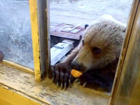 الدب الروسي يريد الحلوى (فيديو)