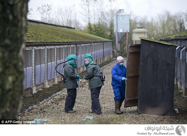 بطة إنفلونزا طيور بريطانيا
