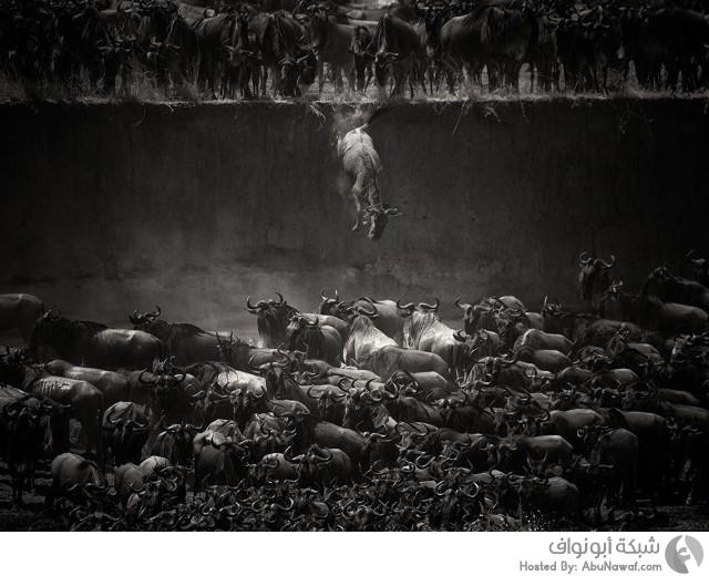 حيوانات مهاجرة