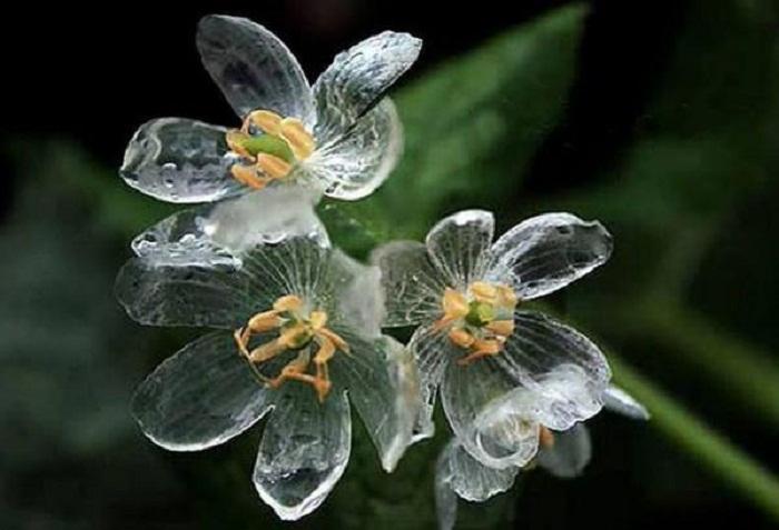 زهرة ديبفيليا