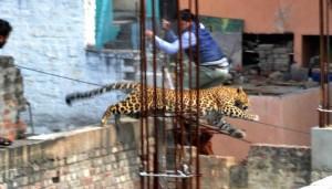 فهد يقفز عبر بناية قيد الإنشاء ، كما يظهر شخص يحاول الهروب من وجه الفهد ، الهند، 23 فبراير 2014.