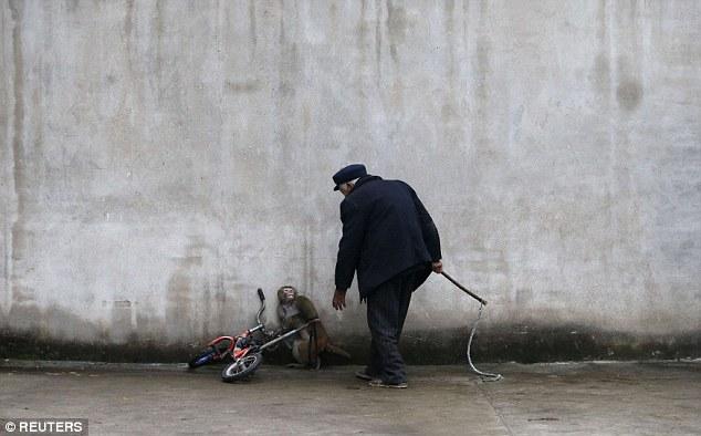 سيرك الحيوانات القرود الصين