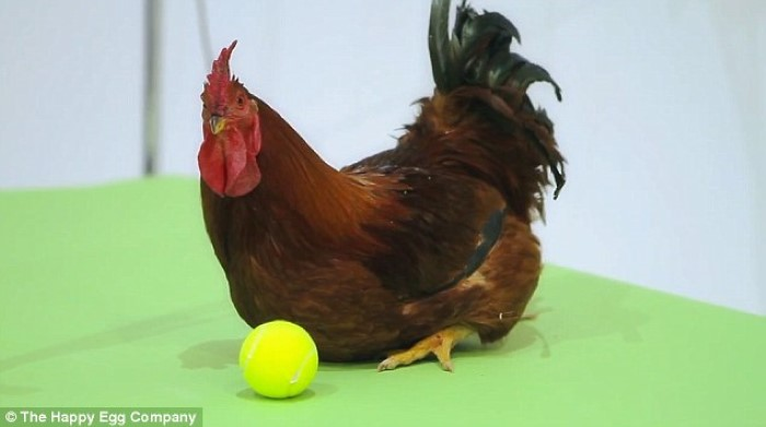طعم البيض الذيذ في سعادة الطيور