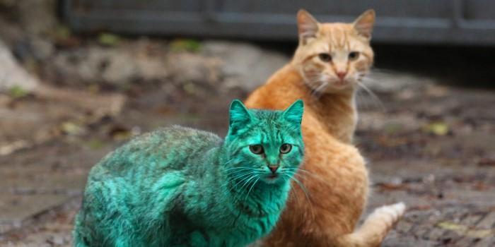 قط أخضر في بلغاريا
