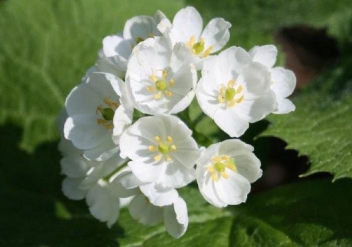 زهرة Diphylleia grayi المتحولة