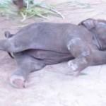 صغير الفيل