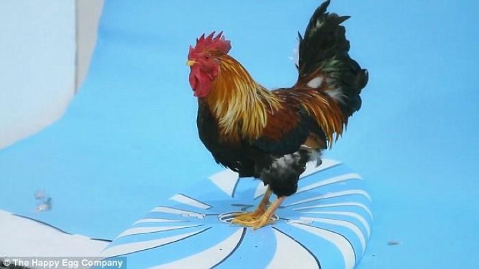 طعم البيض الذيذ في سعادة الدجاج