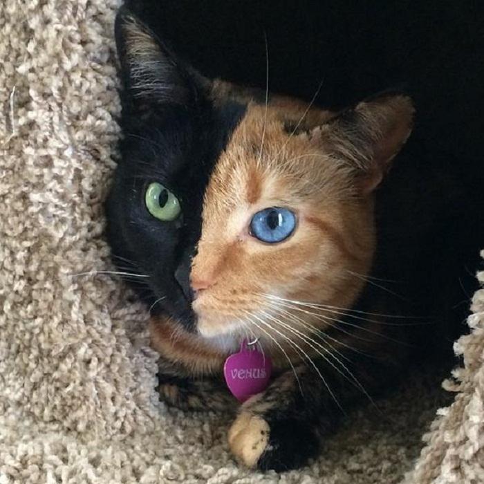 قط غريب