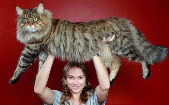 قطة ضخمة