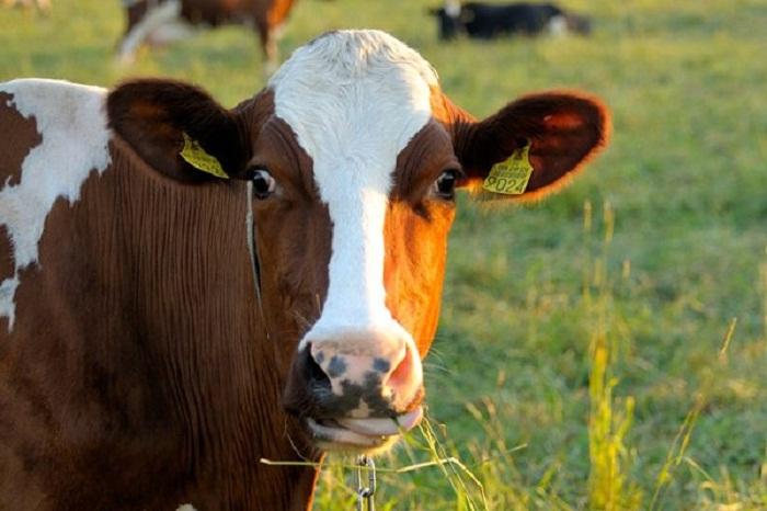 جنون البقر