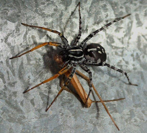 العناكب لا تهضم ضحيتها، فيجب أن تحولها الى سائل لكي تأكلها