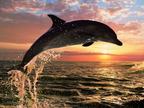 6213_dolphin_sunset_jigsaw_puzzle_lg3