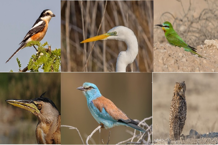 birds of saudi arabia