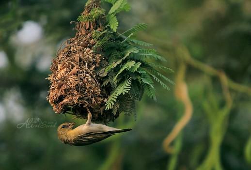 طائر البلبل البري