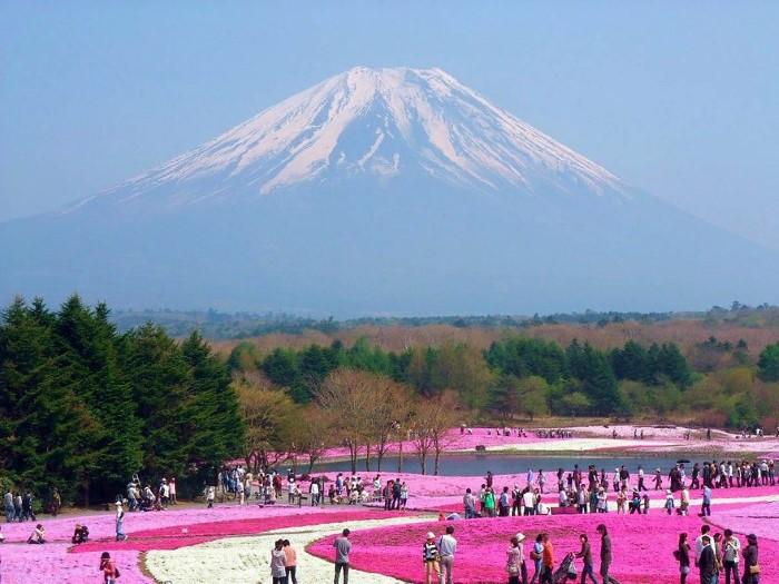 مهرجان الزهور الوردية