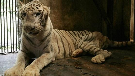 نمر بنغالي