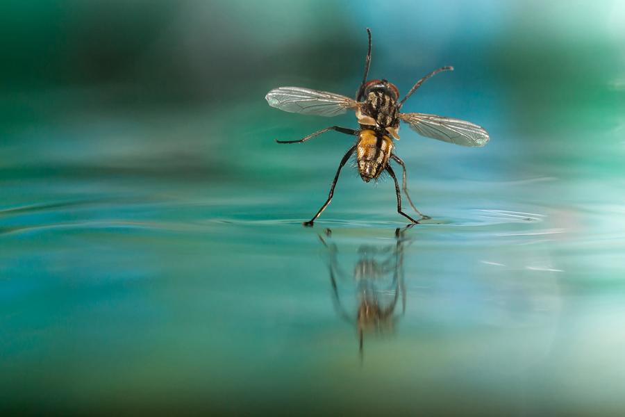 ذبابة على سطح الماء