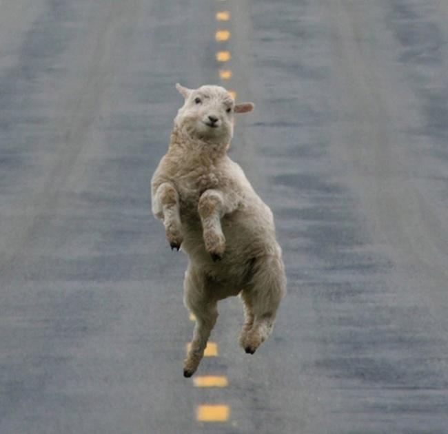 خروف راقص