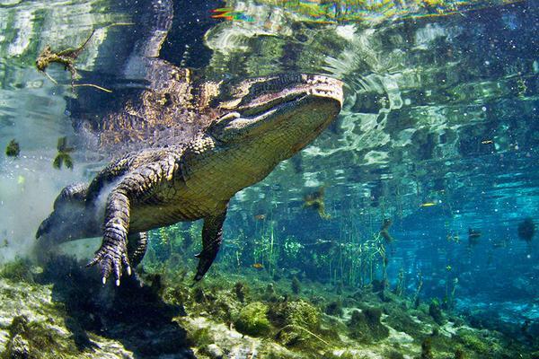 صور تمساح يسبح