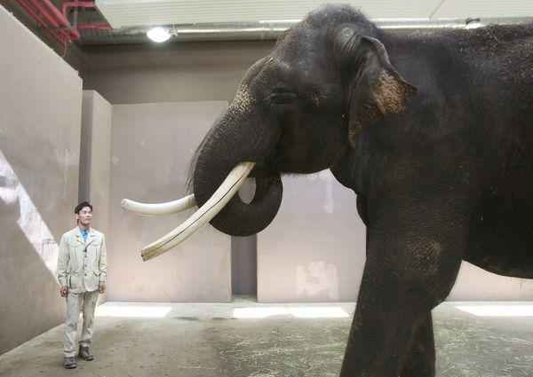 صور فيل آسيوي