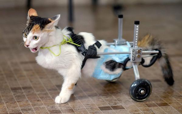 قطة بعجلات للمشي