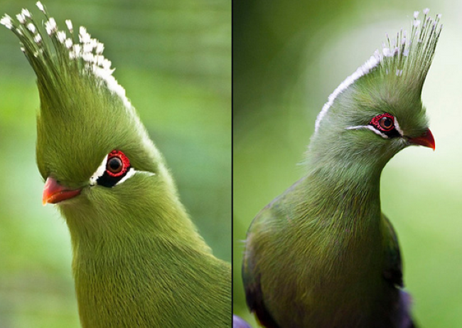 طائر توراكو